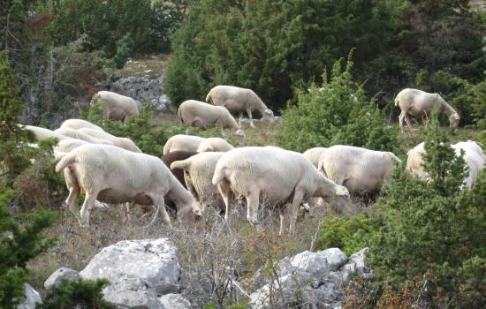 Pastoralisme, emblêmatique des Causses et Cévennes