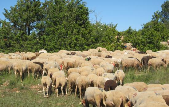 Le pastoralisme emblematique du Larzac