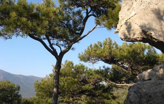 Pins salzmann des Monts de St Guilhem