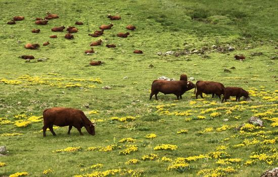 Vaches Salers en contre-bas du Puy Mary
