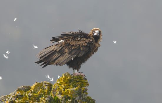 jeuen vautour gorges du Tarn