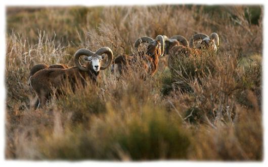 Le mouflon, emblêmatique du Caroux