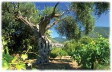 Vignes et oliviers en vallee de l'Orb
