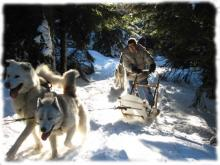 Sled dogs team in underwoods
