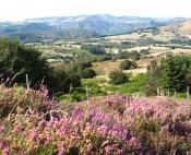 Bruyère fleurie des Monts de Lacaune